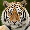 Tiger_swe